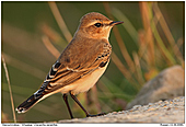 Wheatear - Wheatear in the evening sun
