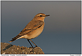 Wheatear - Wheatear in Evining Light