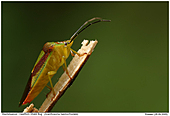 Hawthorn Shield Bugs - Hawthorn Shield Bug