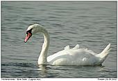 Mute Swan - Mute Swan