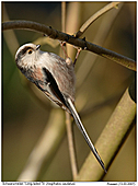 Long-tailed Tit - Acrobatics