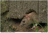 Brown Rat - Brown Rat