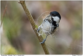 Coal Tit - Coal Tit with nesting material
