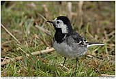 Pied Wagtail - Pied Wagtail