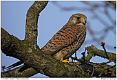 Kestrel - Female Kestrel