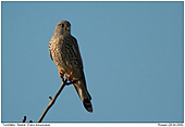 Common Kestrel - Common Kestrel