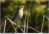 Pied Flycatcher - Female Pied Flycatcher