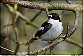 Pied Flycatcher - Pied Flycatcher