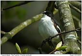 Pied Flycatcher - Pied Flycatcher