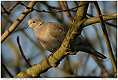 Eurasian Collared Dove - Eurasian Collared Dove