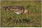 Black-tailed Godwit - Black-tailed Godwit