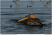 Black-tailed Godwit - Black-tailed Godwit taking a bath