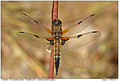 Four-spotted Chaser - Four-spotted Chaser