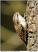 Tree Creeper - Tree Creeper