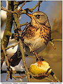 Fieldfare - Fieldfare In Apple Tree