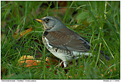 Fieldfare - Huge flocks