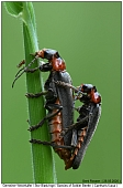 Soldier Beetle - Soldier Beetle