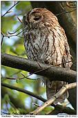 Twany Owl - Tawny Owl