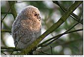 Tawny Owl - Cute