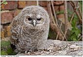 Tawny Owl - Juvenile Tawny Owl