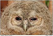 Tawny Owl - Tawny Owl