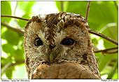 Tawny Owl - Observed by an Tawny Owl