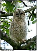 Tawny Owl - In an apple tree