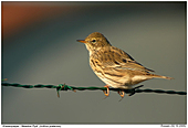 Meadow Pipit - Meadow Pipit