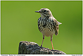 Meadow Pipit - Meadow Pipit in backlight