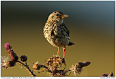 Meadow Pipits - Meadow Pipit