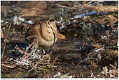 Eurasian Woodcock - Eurasian Woodcock