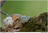 Grapevine Snail - Grapevine Snail