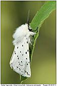 White Ermine Moth - White Ermine Moth