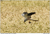 Montagu's Harrier - Montagu's Harrier with prey