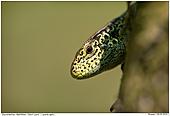 Sand Lizard - Sand Lizard