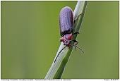 Denticollis linearis - Denticollis linearis - Click Beetle