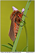 Ruby Tiger Moth - Ruby Tiger Moth on Cuckoo Flower