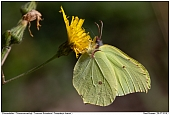 Common Brimstone - Common Brimstone
