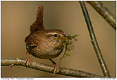Winter Wren - Wren with nesting materials
