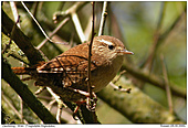 Wren - In the thicket