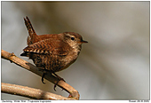 Winter Wren - Winter Wren