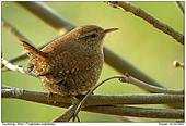 Wren - Wren - Close Up