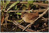 Winter Wrens - Winter Wren