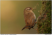 Winter Wren - Wren with moss