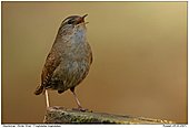 Winter Wren - Who's the boss !?