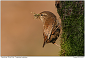 Winter Wren - Winter Wren with Nesting Materials