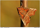 Scoliopteryx libatrix - Scoliopteryx libatrix