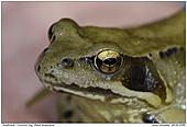 Common Frog - Common Frog - Portrait