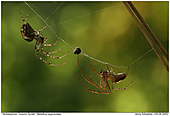 Autumn Spider - Walking a tightrope