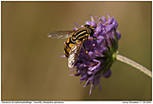 Hoverflies - Hoverfly